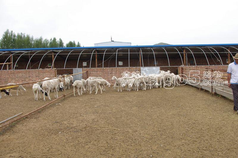赤峰购物网 - 养殖场 养羊场图片
